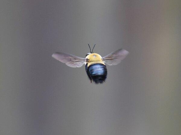 Flying carpenter bee